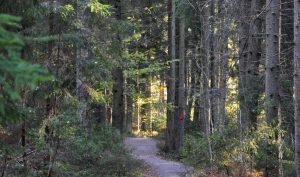 En skogsstig mellan skogen.